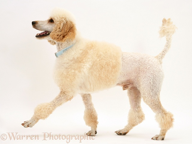 Miniature Apricot Poodle, Murphy, walking across, white background