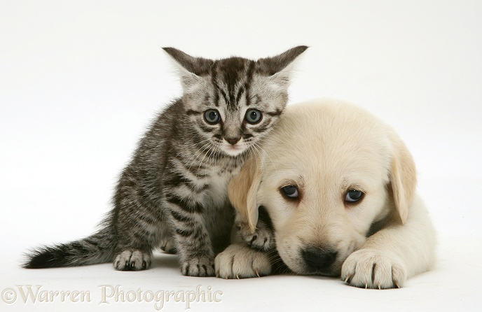 Yellow Goldador Retriever pup with silver tabby kitten, white background