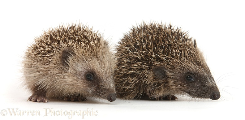 Baby Hedgehog (Erinaceus europaeus), white background