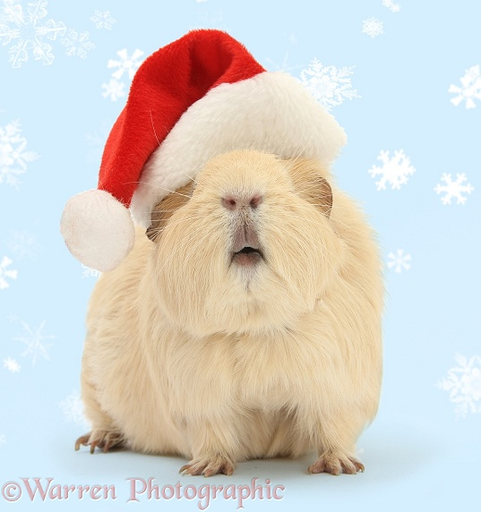 Yellow Guinea pig wearing a Santa hat, white background