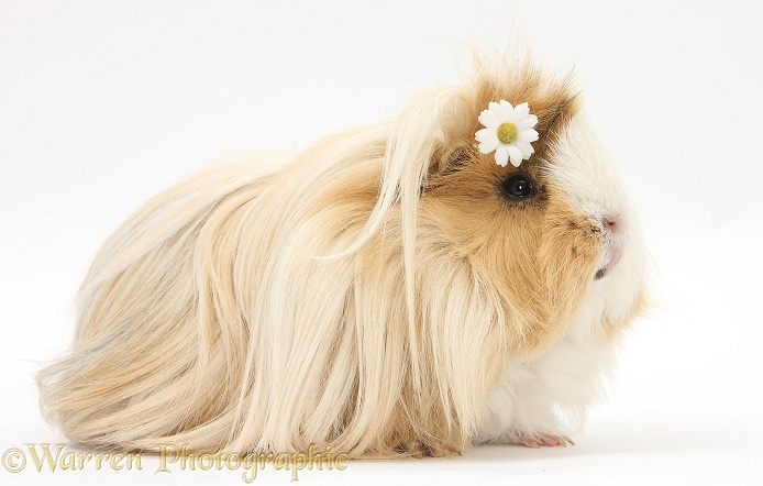 Guinea pig with flower in its hair, white background