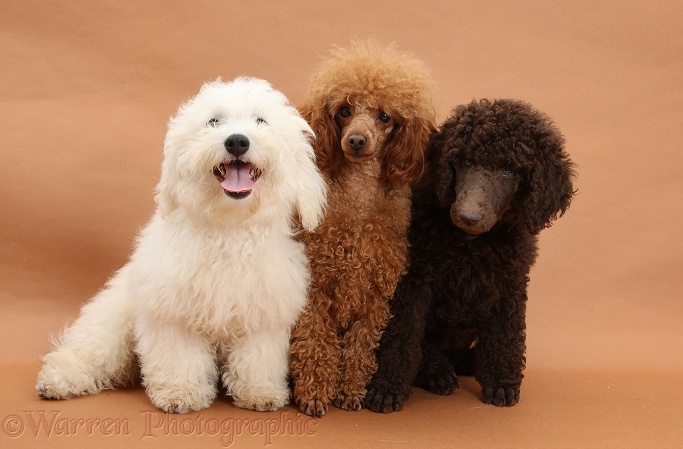Chocolate Standard Poodle pup, Tara, 8 weeks old, with adult Red Toy Poodle, Reggie, 1� years old, and Bichon Frise dog, Louie, 4 months old