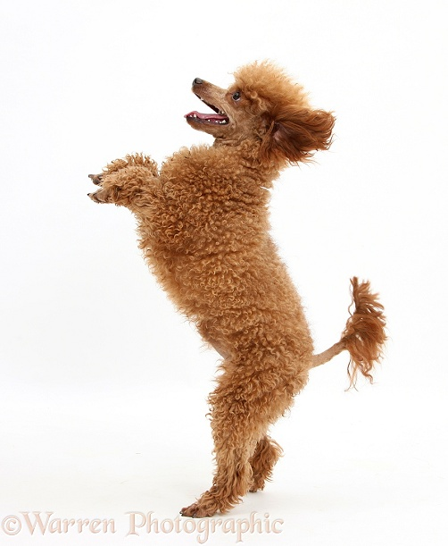 Red Toy Poodle, Reggie, 1 years old, standing up on hind legs, white background