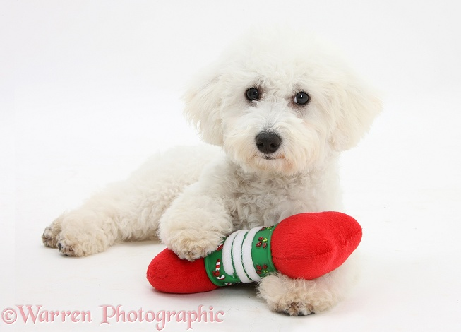Bichon Frise dog, Louie, 5 months old, with a soft toy Christmas bone, white background