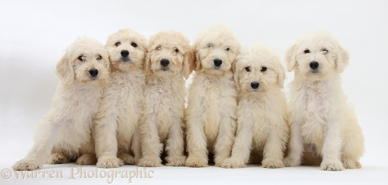 Six Labradoodle pups, 9 weeks old, white background