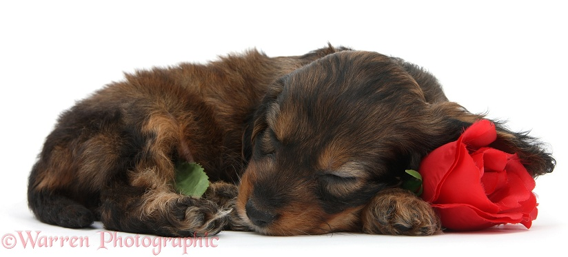 English Cockapoo pup, 6 weeks old, sleeping on a red rose, white background
