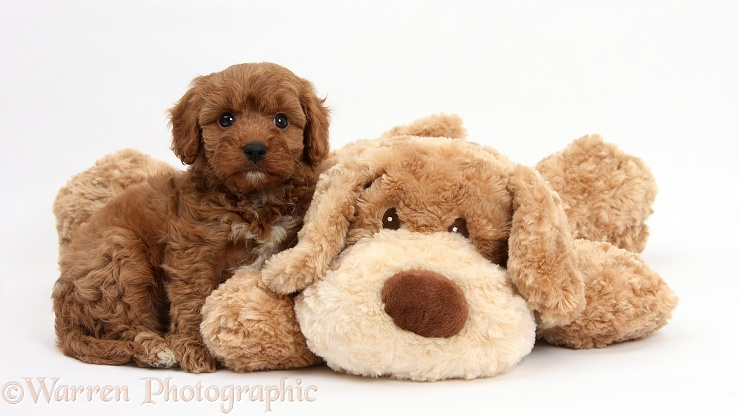 Cavapoo pup, 6 weeks old, and soft toy dog, white background