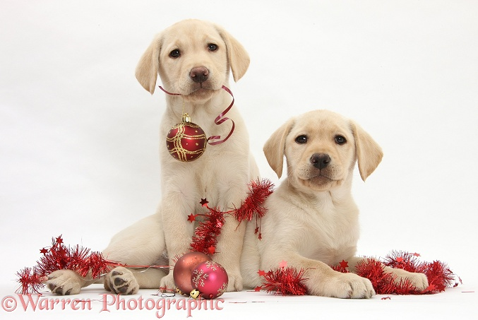Yellow Labrador Retriever bitch pups, 10 weeks old, playing with Christmas decorations, white background