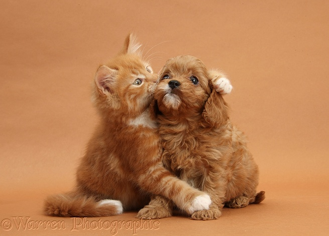 Puppies Pictures: Cavapoo Pup and Kitten, WP27476.