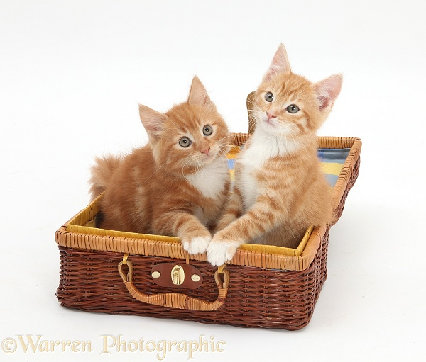Ginger kittens, Butch and Tom, 9 weeks old, playing in a wicker basket case, white background