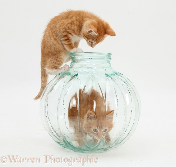 Ginger kittens, Tom and Butch, 9 weeks old, playing in a glass vase, white background