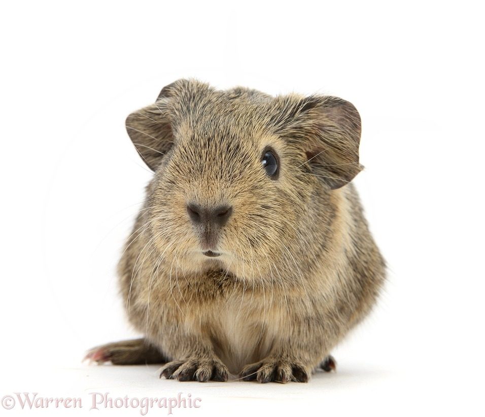 Baby yellow agouti Guinea pig, white background
