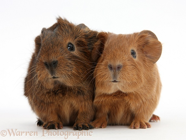 Baby Guinea pigs, white background