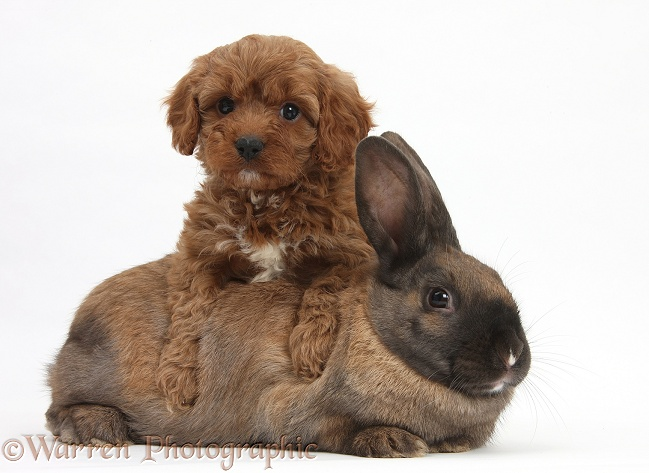 Seal-point rabbit and Cavapoo pup, 6 weeks old