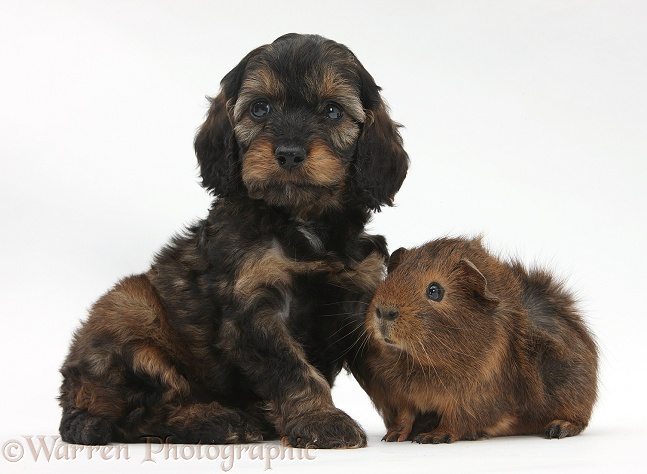 English Cockapoo pup, 6 weeks old, and Guinea pig, white background
