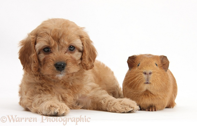 Cavapoo pup, 6 weeks old, and red Guinea pig, white background