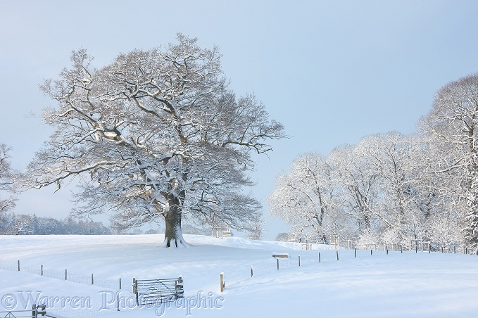 Oak trees with snow in Albury Park.  Surrey, England