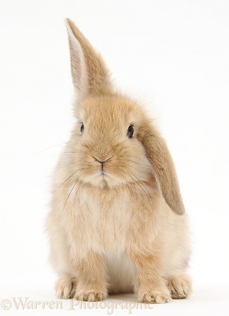 Baby Sandy Lop rabbit