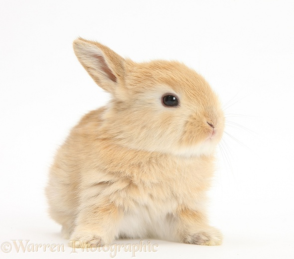 Baby Lop rabbit, white background