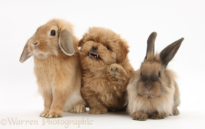 Peekapoo pup and Lionhead-cross rabbits