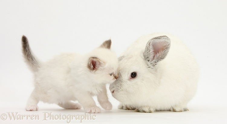 Colourpoint kitten and white rabbit, white background