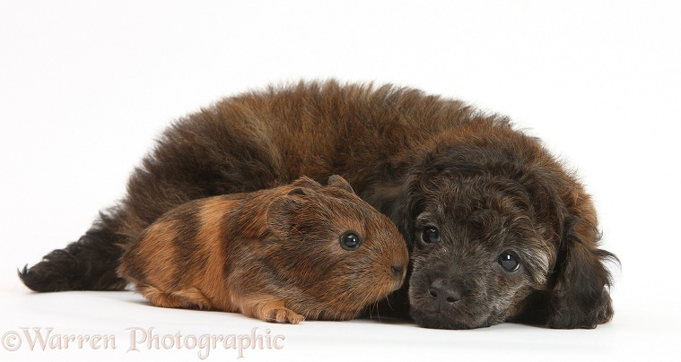 Red merle Toy Poodle pup, and baby Guinea pig, white background