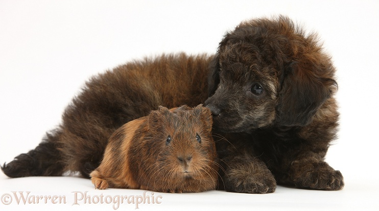 Red merle Toy Poodle pup, and baby Guinea pig