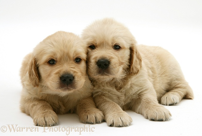 Two Golden Retriever puppies, white background