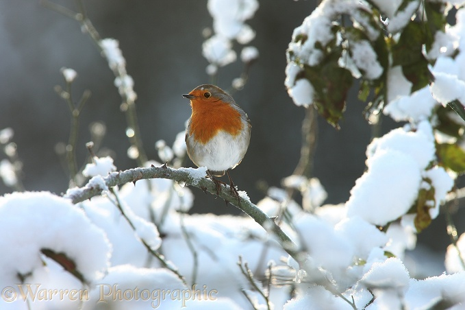 European Robin (Erithacus rubecula) on a cold winter's day