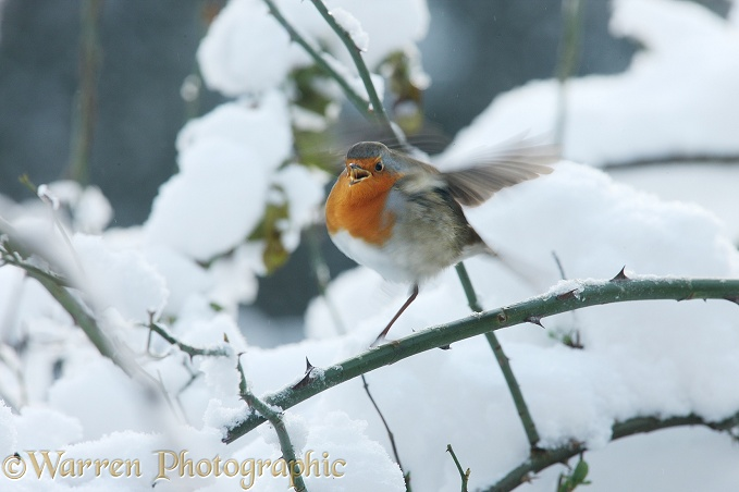 European Robin (Erithacus rubecula) challenging a passing rival on a cold winter's day