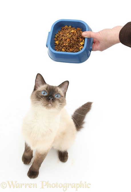 Birman-cross cat looking up at receiving some dry food in a bowl, white background