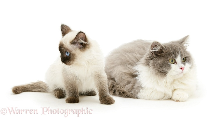 Pair of cats being unfriendly and ignoring each other, white background