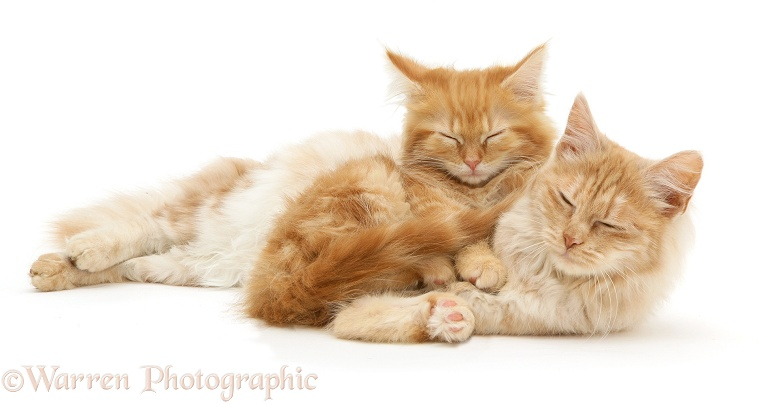 Sleepy ginger Maine Coon kitten and red silver Turkish Angora cat, white background
