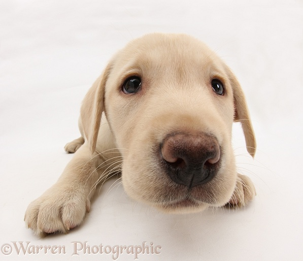 Yellow Labrador Retriever pup, 8 weeks old, white background