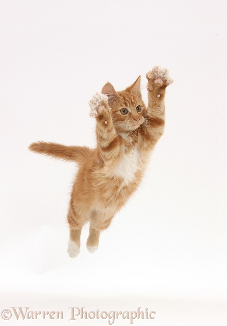 Ginger kitten, Butch, 3 months old, leaping with arms outstretched, white background