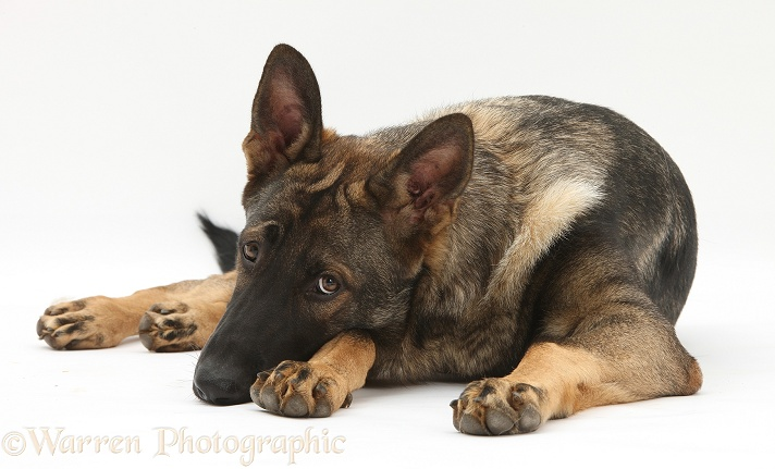 German Shepherd Dog, Buster, lying with his chin on the floor, white background