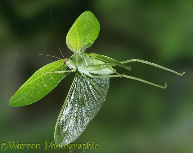 Katydid (Tettigoniidae) in flight