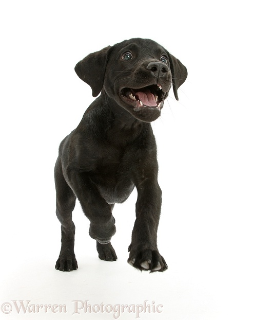 Black Labrador Retriever pup, Sam, running, white background