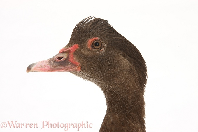 Chocolate Muscovy Duck, white background