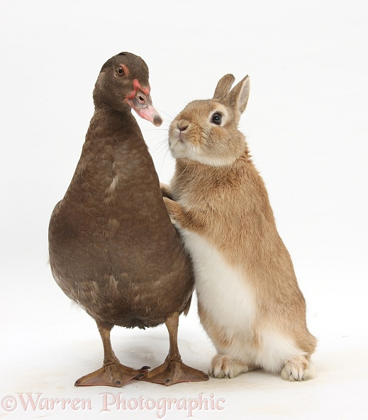 Chocolate Muscovy Duck and Netherland Dwarf-cross rabbit, white background