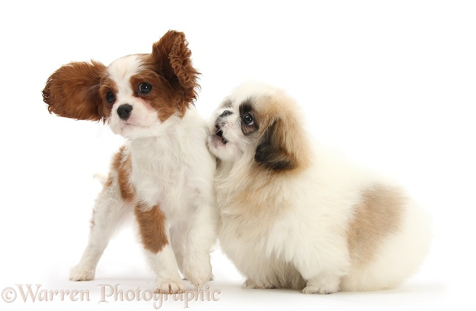 Blenheim Cavalier King Charles Spaniel pup, Harvey, 11 weeks old, playing with Parti colour Pekingese pup, Kiki, also 11 weeks old, white background
