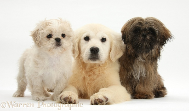 Golden Retriever pup, Daisy, 16 weeks old, with cream Shih-tzu pup, Lilly, 7 weeks old, and brown Shih-tzu, Coco, 5 months old, white background