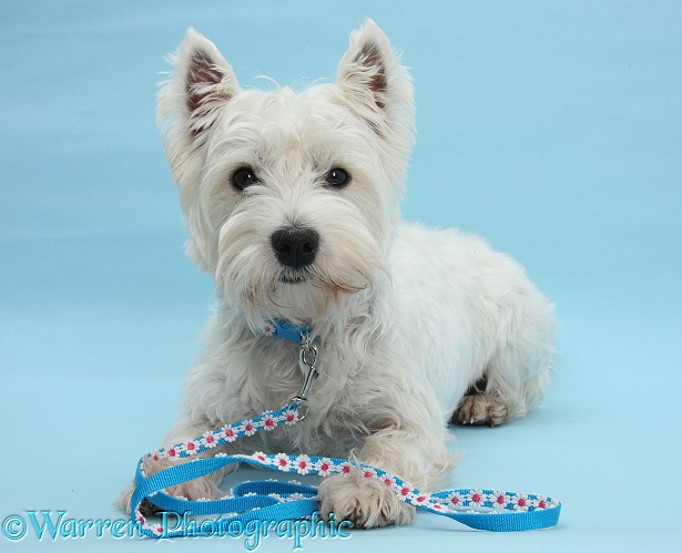 West Highland White Terrier, Betty, lying on blue background, with her head up and with collar and lead on