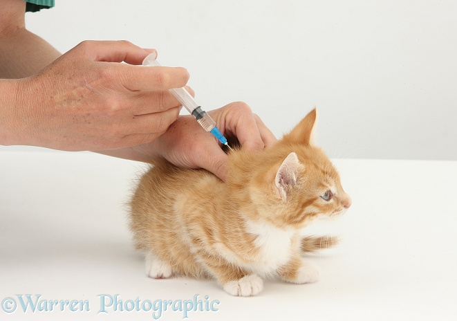 Vet giving a ginger kitten, Tom, 8 weeks old, his primary vaccination, white background