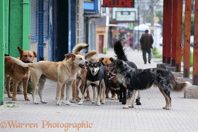 'Bitch run' - Pack of street dogs following after a bitch on heat.  Coyhaique, Chile
