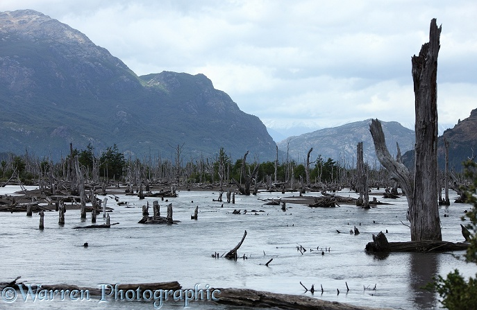 Drowned forest - The course of a river has changed, flooding a section of forest, killing the trees.  Chile