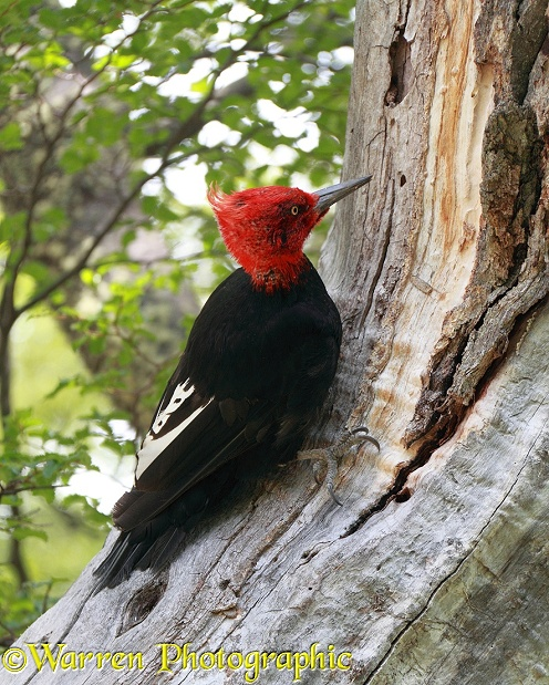 Male Magellanic Woodpecker (Campephilus magellanicus).  Chile and Argentina