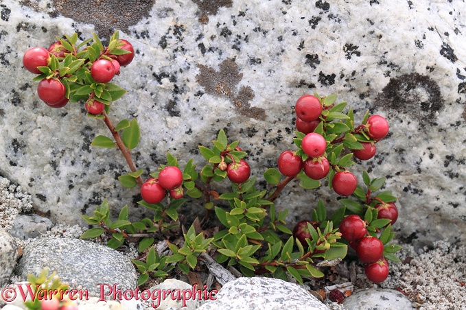 Prickly Heath (Gaultheria mucronata) berries