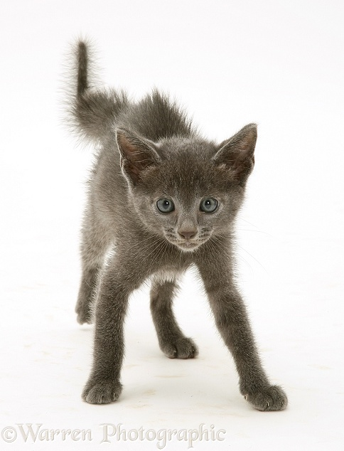 Alarmed blue kitten in defensive posture, white background