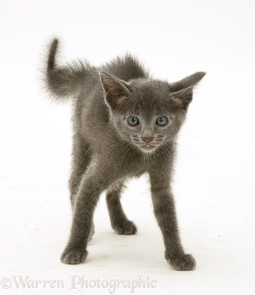 Alarmed blue kitten in defensive posture